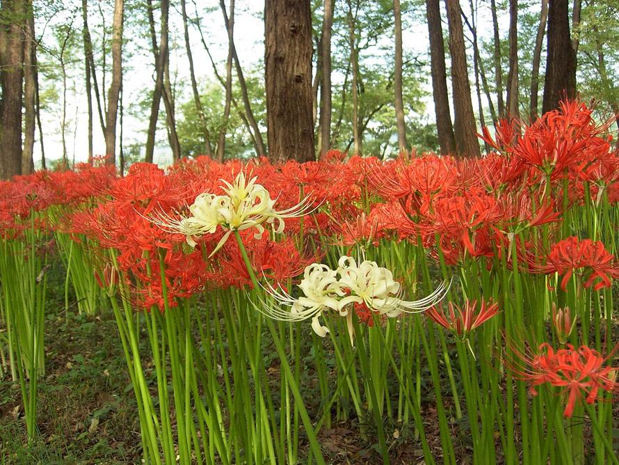 真っ赤な曼珠沙華が咲き誇る中、ひっそりと咲く白い曼珠沙華の儚さも美しい。赤と白の対比は絶好のシャッターチャンスだ。