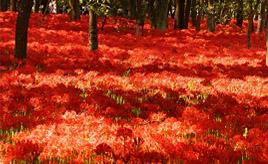 まるで赤い絨毯!秋の訪れを告げる巾着田の曼珠沙華まつりへドライブ 埼玉県日高市