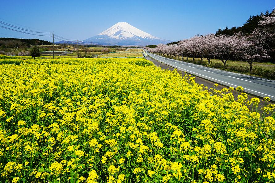 1年で最も美しいのは春。雪をたっぷりかぶった富士山に、菜の花の黄色と桜のピンクが彩りを添える。