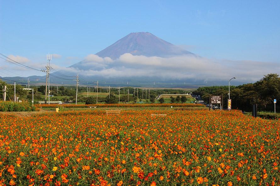 コスモス畑と富士山。秋には富士山の雪化粧は見られないが、均整のとれたシルエットはやっぱり日本一の山!