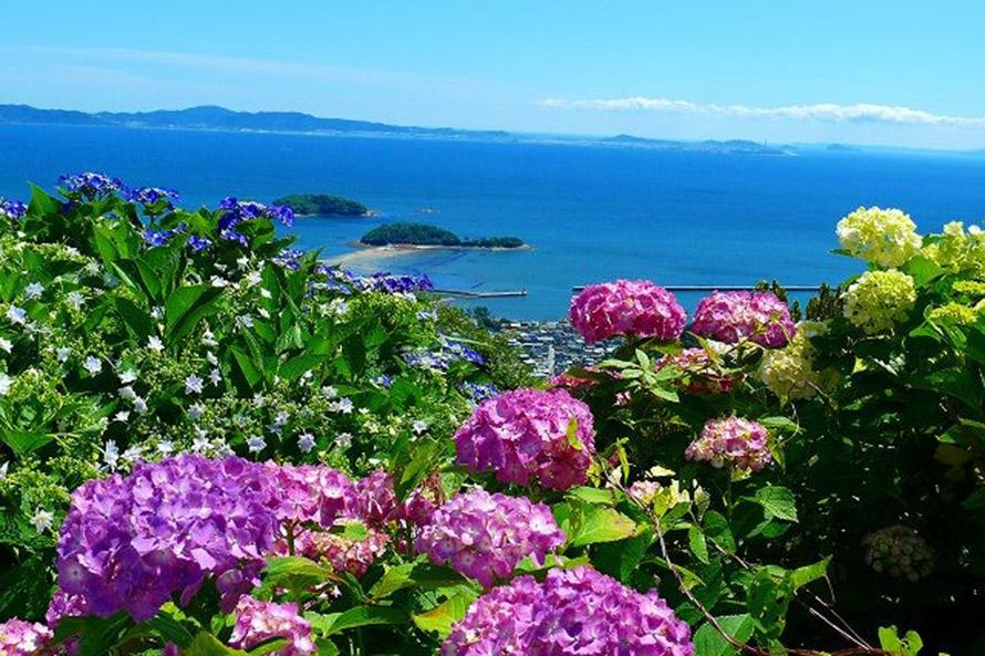 山頂付近に咲くアジサイ。海と花とのコントラストが美しい。