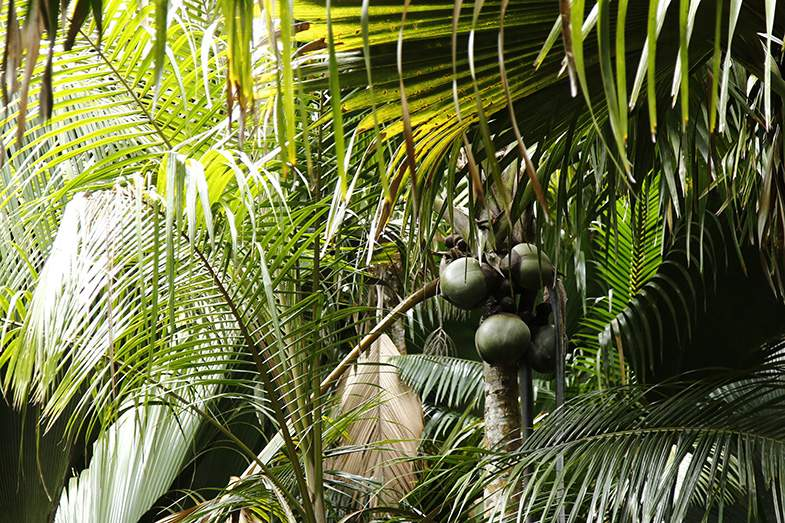 セーシェル諸島の中で2番目の大きいプララン島にあるヴァレ・ド・メ渓谷自然保護区は、1983年に世界自然遺産に登録。世界最大のヤシの実をつけるココ・デ・メールが4,000〜5,000本も自生する原生林がある