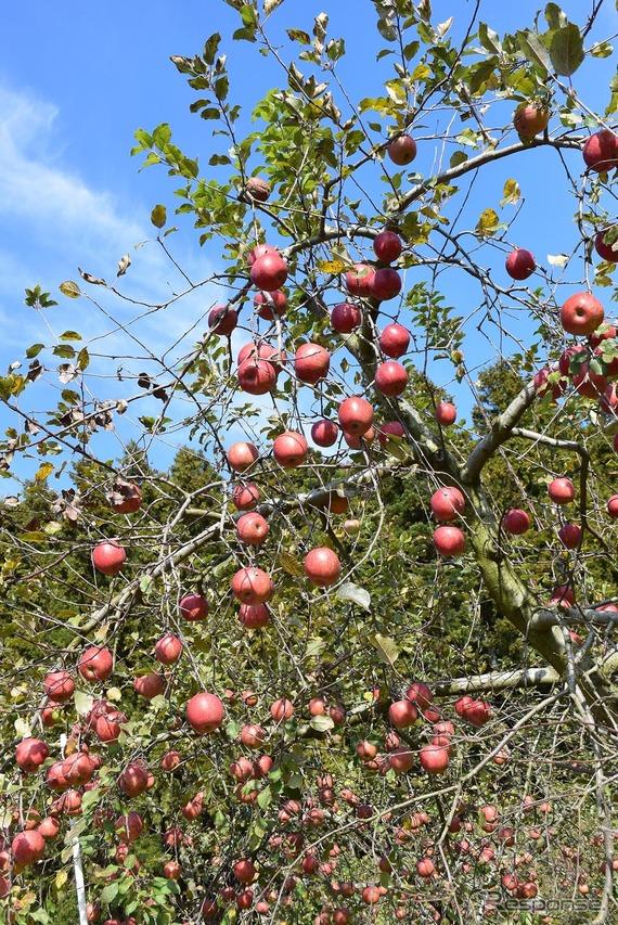 たわわに実ったりんごを収穫する。