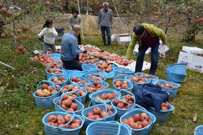 りんごの木2本分。収穫してみると結構量があった。