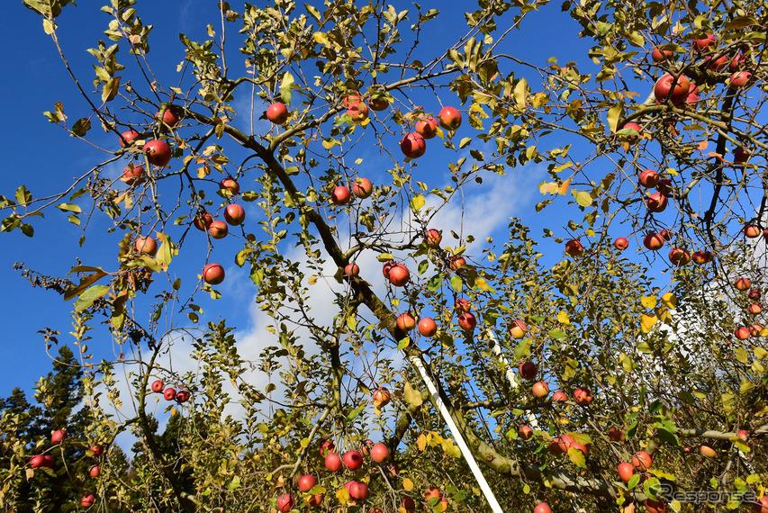 数々の災害にも負けず実ってくれたりんごたち。