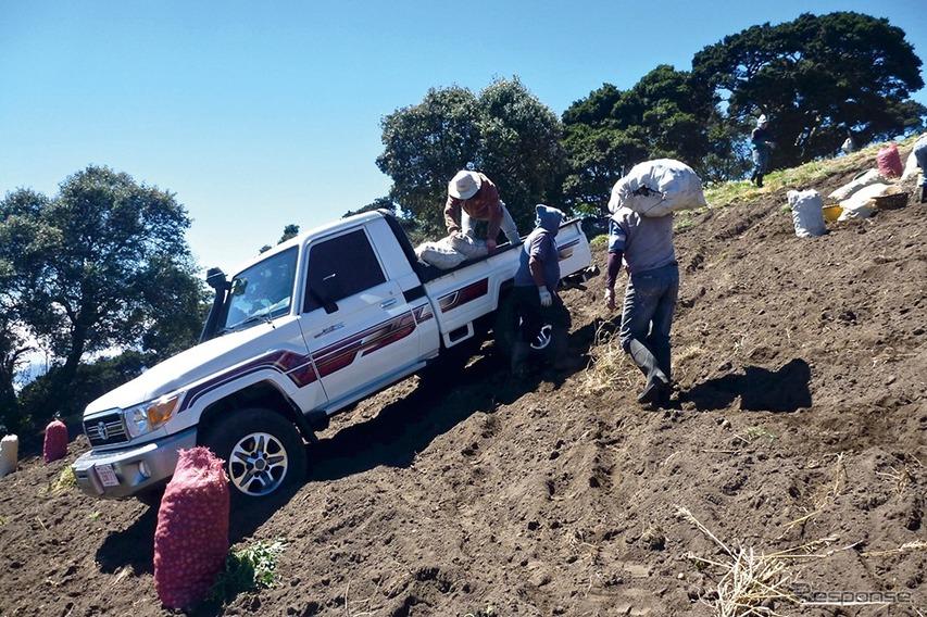 コスタリカのニンジン収穫風景